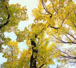 Autumn Tree Shedding Leaves
