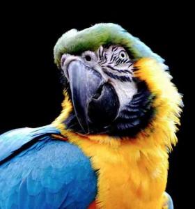Rude Parrot